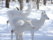 Rare and Amazing White Deer Group