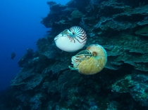 Rare Nautilus Sighted For The First Time In Three Decades -- Nautilus pompilius swimming above a rare Allonautilus scrobiculatus off the coast of Ndrova Island in Papua New Guinea Photo credit Peter Ward