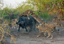 Rare shot of a daylight lion kill Taking down an African Buffalo at South Luanga National Park Zamibia
