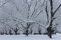 Rare snow day in Mississippi photo taken in a pecan orchard December th