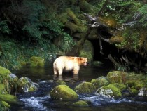 Rare spirit bear from British Colombia