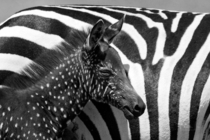 Rare Zebra Foal with Polka Dots
