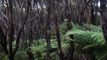 Rata Forest Nelson Lakes National Park NZ OC