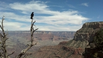 Raven Overlooking Grand Canyon