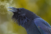 RavensCorvus corax Breath by Doug Dance