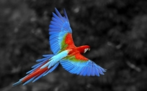 Red-and-green Macaw in flight Ara chloropterus