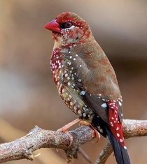 Red Avadavat or Strawberry Finch