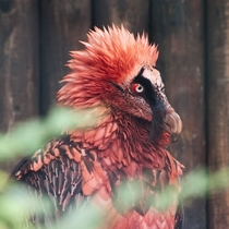 Red Bearded Vulture Gypaetus barbatus