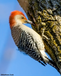 Red-bellied woodpecker Photo credit to Matthew Zook