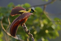 red bird of paradise - new guinea