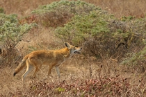 Red coyote at Tomales Point CA