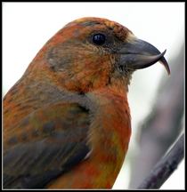 Red Crossbill Loxia curvirostra -