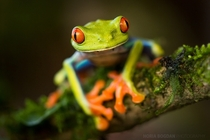Red-eyed leaf frog by Horia Bogdan
