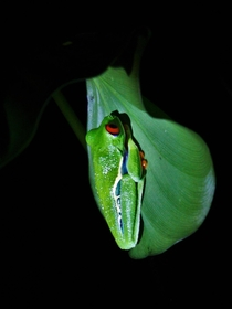 Red eyed tree frog in the cloud rainforest