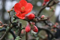 Red Flowering Quince Chaenomeles speciosa
