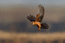 Red-footed Falcon on the hunt