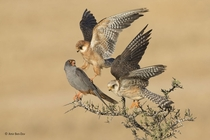Red-footed Falcons Falco vespertinus are social birds of prey found through Eastern Europe and Asia Amir Ben-Dov