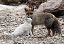 Red fox and white cat x-post from runlikelyfriends