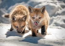 Red Fox Cubs by Jocelyne Feizo
