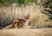 Red Fox in my backyard   x