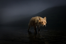 Red Fox on Kodiak Island AK by Jonny Armstrong
