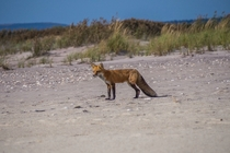 Red Fox on Long Island Beach by James Salanitri x