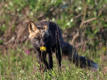Red Fox takes a moment to smell a flower