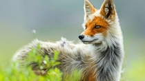 Red fox Vulpes vulpes by Ivan Kislov  x-post