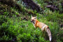 Red Fox Vulpes vulpes by the road at Yellowstone Natl Park WY