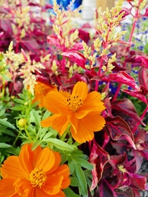 Red Iresine and orange Cosmos