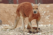 Red Kangaroo Macropus Rufus Australias largest land mammal and the worlds largest marsupial The largest confirmed specimen stood ft tall