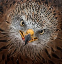 Red kite by Jarmo Viippola