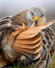 Red Kite Wants to Shake Feathers With You Redditirs