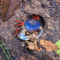 Red Land Crab in Manuel Antonio NP Costa Rica Gecarcinus quadratus