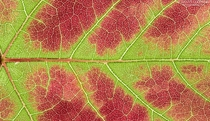 Red maple Acer rubrum leaf transitioning from red to green