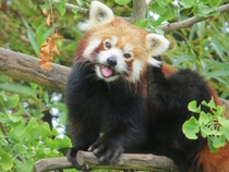 Red panda Ailurus fulgens in a gingko biloba tree