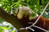Red Panda Ailurus Fulgens napping