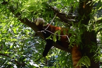 Red Panda Ailurus Fulgens on a tree