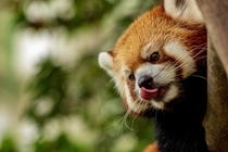 Red Panda blepping Photo credit to Michael Payne