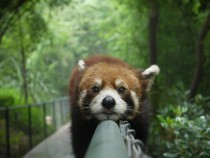 Red Panda in Chengdu China