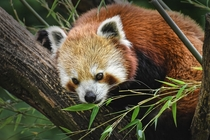 Red Panda Photo credit to Alexas