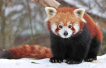 Red panda sitting in the snow x-post from rredpandas