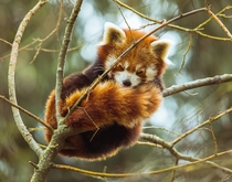 Red Panda sleeping up a tree