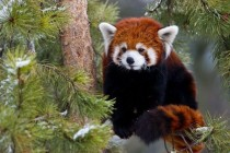 Red Panda x-post from rpics