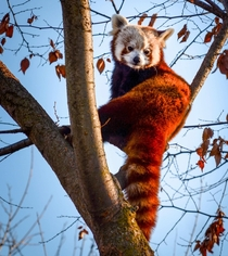 Red pandas arent really pandas but this one sure is red