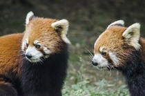 Red Pandas in Sichuan China