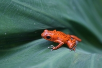 Red poison-dart frog
