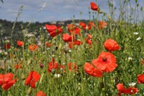 Red Poppies in a Sea of Wild Flowers in Villeneuve France Papaver rhoeas