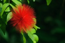 Red Powderpuff Calliandra haematocephala