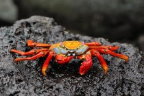 Red Rock Crab Grapsus grapsus Galpagos Islands